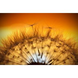 Tableau fleur Pissenlit