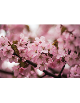 Poster fleur de cerisier
