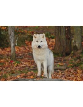Poster loup blanc