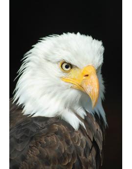 Poster aigle